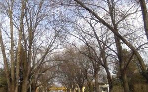 Arching-springtime-trees-cr