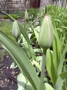 Michelle-Kogan-Tulips-ready