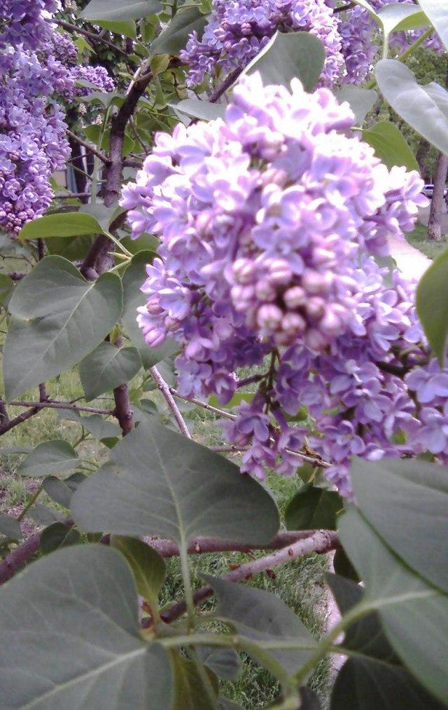 Michelle-Kogan-Lilacs