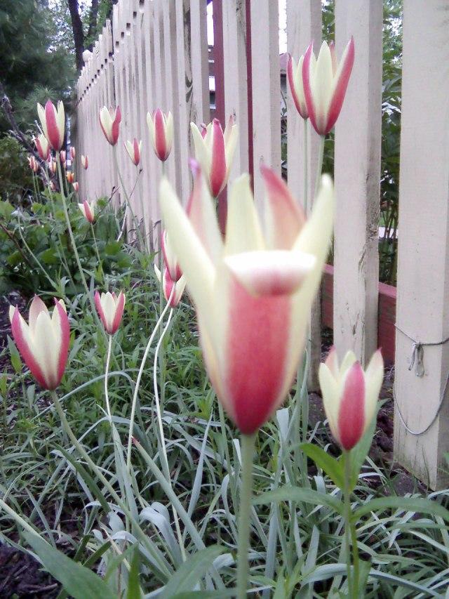 Michelle-Kogan-Tulips