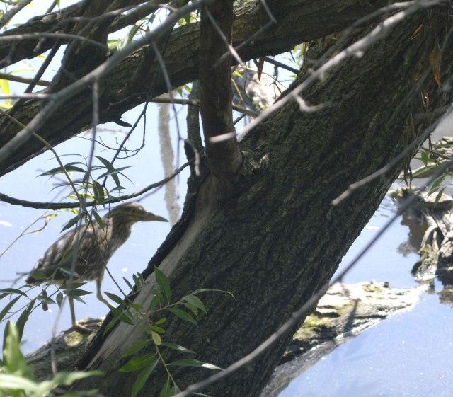 Mkogan-heron-Notebaert-pond