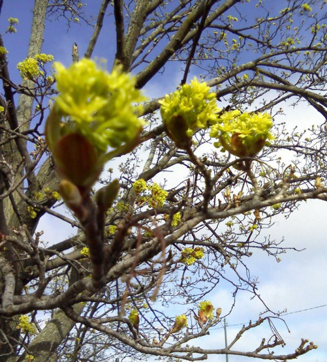 Yellow-blossoms-close-©-mkogan