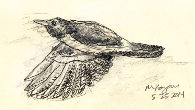 Robin-flying-low-1-©5-25-2014-mkogan©