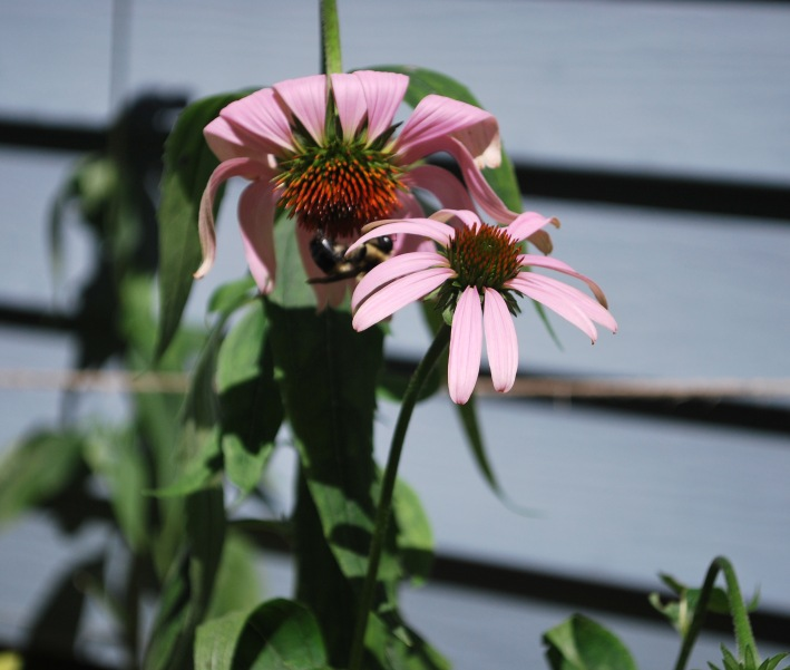 1. Bee on cone flower 7-27-2014