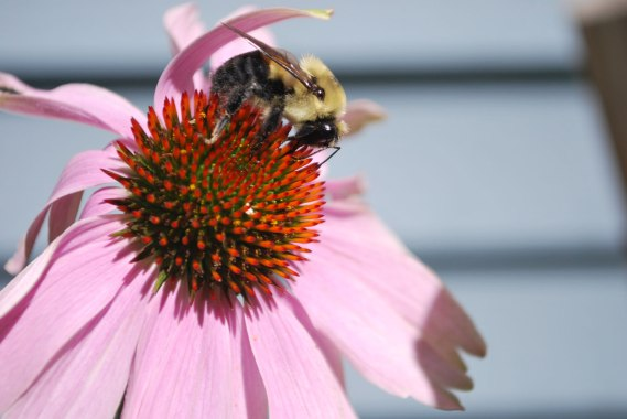 2.bee-on-coneflower7-2014