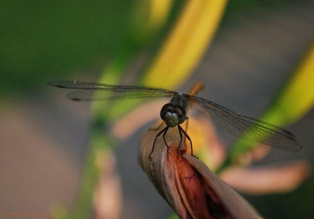 Dragonfly-Sitting-©-Michelle-Kogan-8-2014