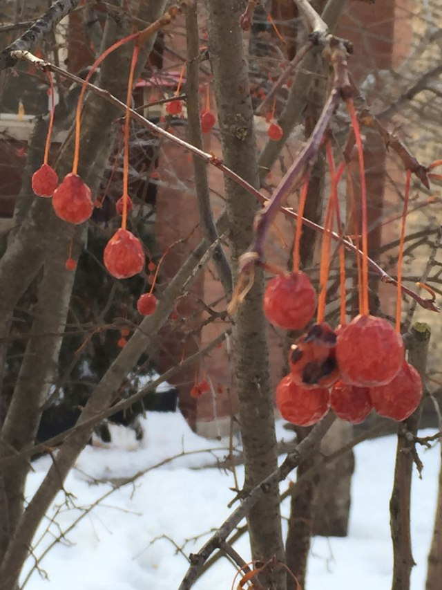 Berries-on-winter-walk-©-m-kogan-2-2015