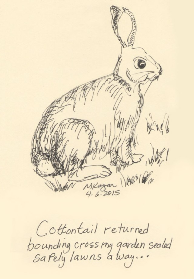 mkogan-©-Cottontail-returns-4-6-2015