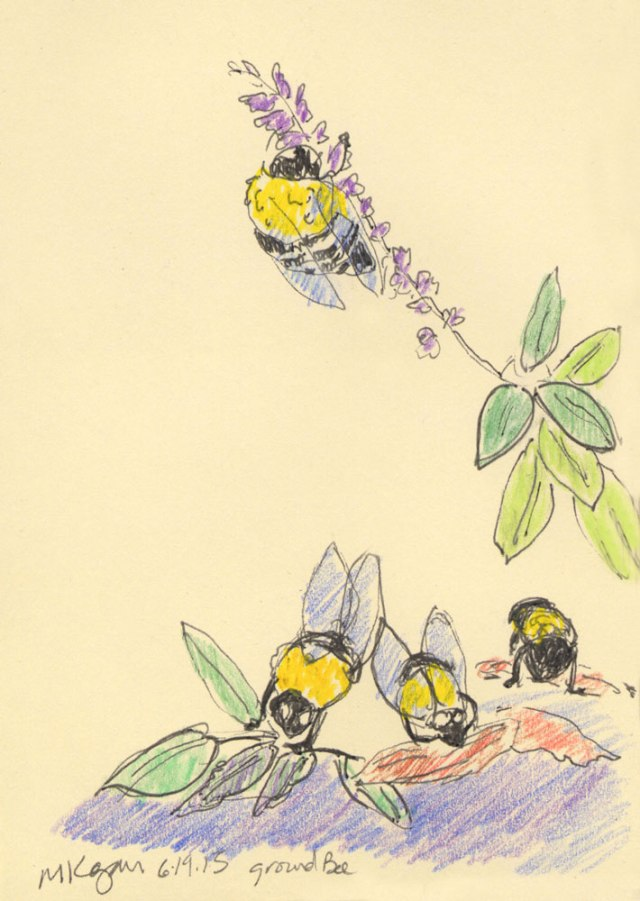 June's-bumble-bees-A-6-21-2015