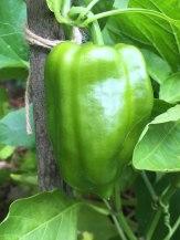 Green-Pepper-8-7-2015