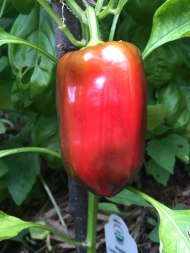 Red-Pepper-8-7-2015