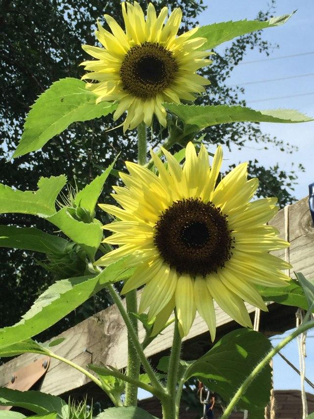 Sunflowers-8-7-2015