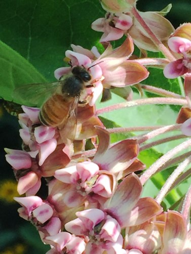 1-bee-on-milkweed-flower-7-25-2018