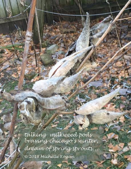Talking milkweed pods haiku 12-13-2018